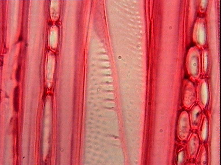 《木材学》实验5 - 阔叶树材微观构造