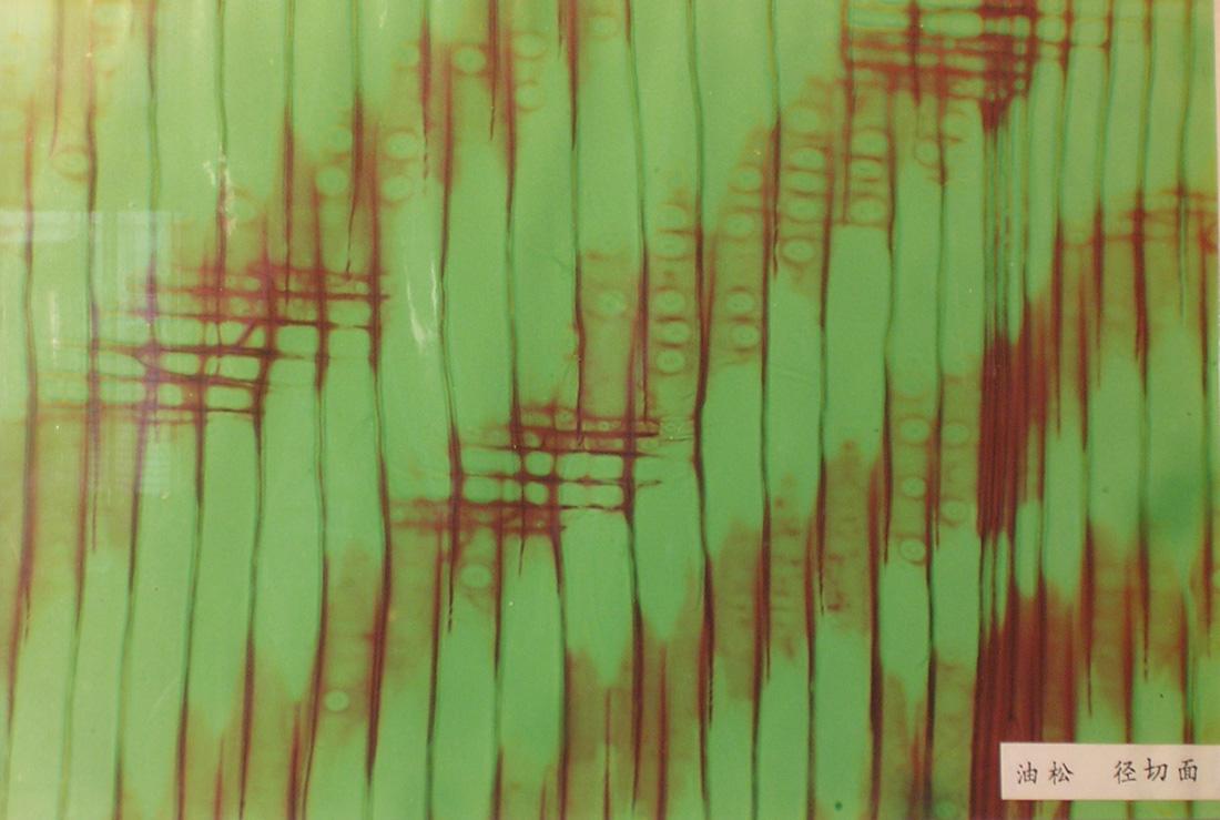 《木材学》实验4 - 针叶树材微观构造