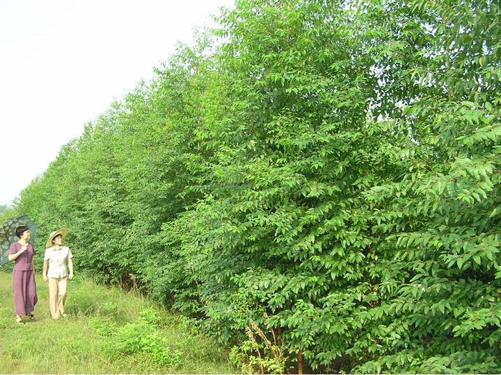 桉树(Eucalyptus spp) 是世界著名的三大速生树种之一,发展桉树产业对江西赣南地区的经济、社会、生态效益具有重要的意义。但是桉树是外来物种,在江西赣南红壤瘠薄易侵蚀土壤上其引种栽培的适应性;对本土生态环境、群落生物多样性、地力衰退的正面或负面影响等问题,都已成为赣南发展桉树关注的重点和需要解决的问题。为此,本研究对江西赣南集约经营桉树林开展了土壤养分特性、生物学特性、林分生长、生物多样性调查研究,并调查了2008年初冰冻灾害的影响及桉树作为水土保持树种的新用途。旨在通过以上的研究探索桉树林
