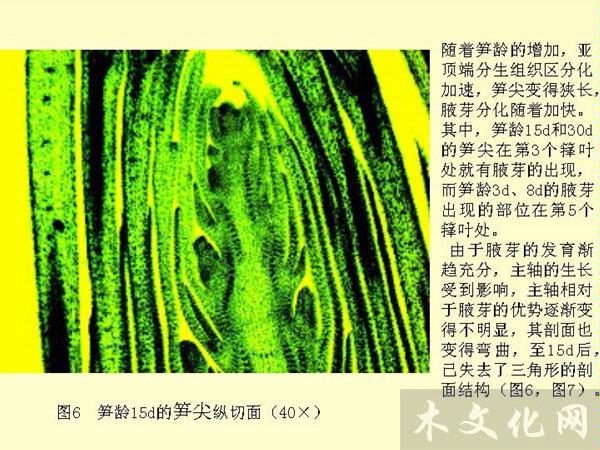 竹笋形态发育构建过程中解剖结构及化学成分的动态变化