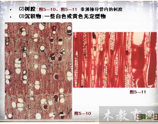 阔叶树材的显微构造