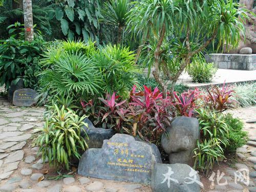 地球上最长寿的植物——龙血树