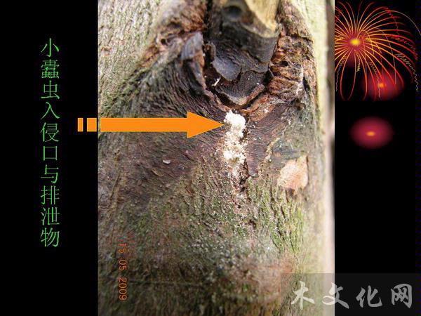 桉树枝枯病介绍与防治方法