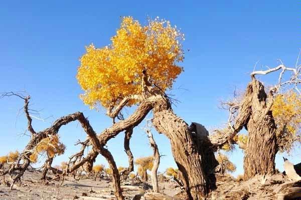 这秋树与夕阳,是人们心中梦中的诗画,而金秋的胡杨,便是这诗画中的
