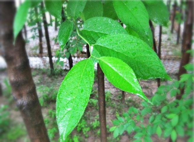 注释:    杜仲:树名。杜仲是我国特有的重要经济树种,其叶、花、果及树皮均可入药,木材是上好的家具、工艺品用材。此外,杜仲还是一种独特的战略资源树种,除木质部外,其叶、花、果及树皮均富含杜仲胶,这种胶在耐腐蚀性、耐冲击性、耐磨性等方面明显优于目前大规模种植的天然橡胶和其他合成橡胶,成为航空、航天、军工、化工、医疗、体育、电力、通讯、交通、水利等领域的重要功能材料。见图一、二、三、四、五、六、七、八。    杜仲:人名。明廖用贤《尚友録》载:尹轨周、杜仲,有道之士也。周穆王召之,居终南山尹眞人草楼。