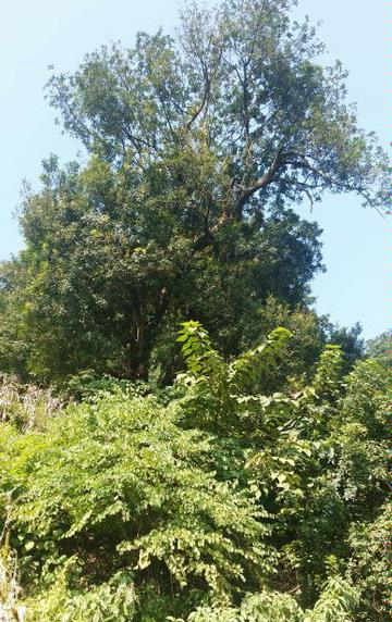 贵州的乌木(清香木,紫油木)